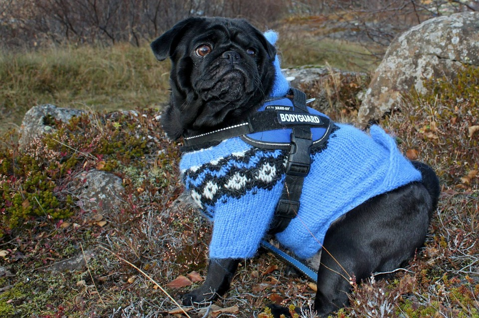 Top Tips For Dressing Your Dog In Cute Dog Clothes | Black Pug In Blue Jumper | Dog Blog | Elle Blonde Luxury Lifestyle Destination Blog