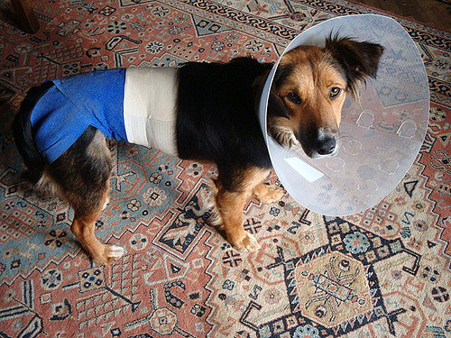 How to treat your dog after surgery or an operation | Dog Blog | Elle Blonde Luxury Lifestyle Destination Blog