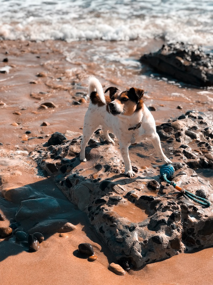 Petplan Pethood Stories: Why I Love Jack Russel Terriers 2